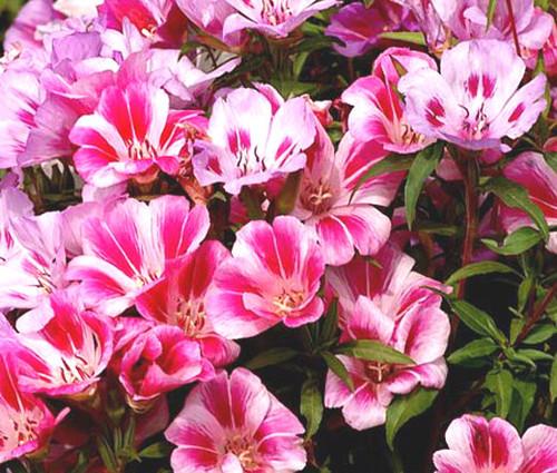 Godetia Dwarf Farewell to Spring Seeds - Clarkia Amoena