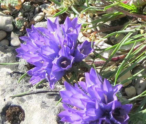 Grassy Bells Blue Seeds - Edraianthus Tenuifolius