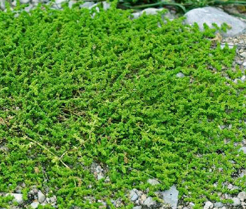 Green Carpet Seeds - Rupturewort Herniaria Glabra