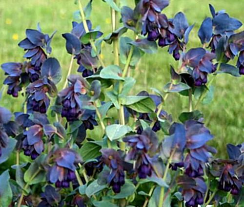 Honeywort Seeds - Cerinthe Major Purpurascens 2