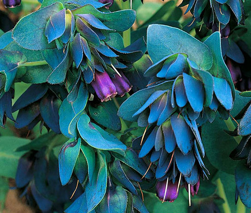 Honeywort Seeds - Cerinthe Major Purpurascens