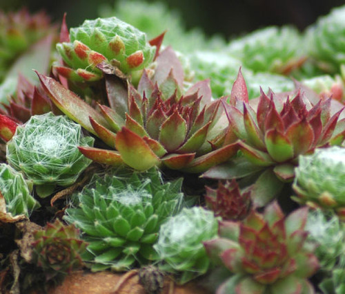 Houseleek Seeds - Sempervivum Hybridum