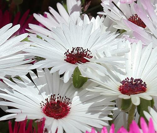 Ice Plant Gelato White Seeds - Dorotheanthus Bellidiformis