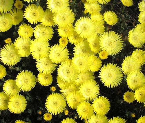 Ice Plant Gold Nugget Seeds - Delosperma Congestum