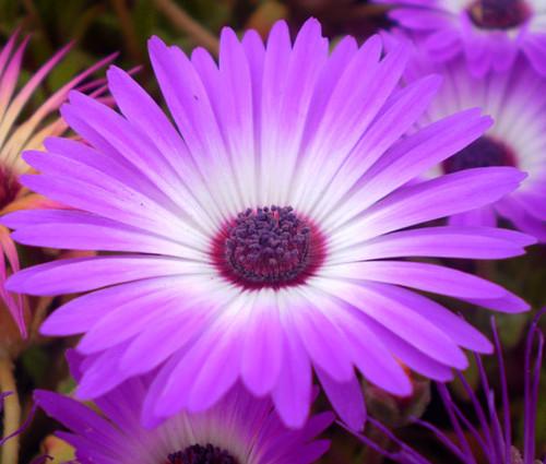 Ice Plant Purple Stardust Seeds - Delosperma Floribunda