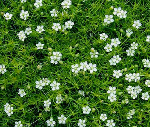 Irish Moss Pearlwort Seeds - Sagina Subulata