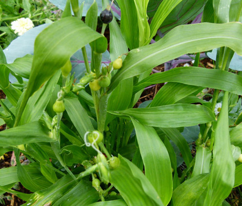 Job's Tears Grass Non GMO Seeds - Coix Lacryma-Jobi