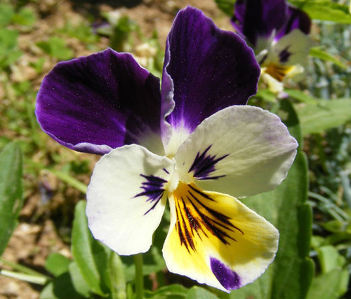 Johnny Jump Up Seeds - Viola Cornuta