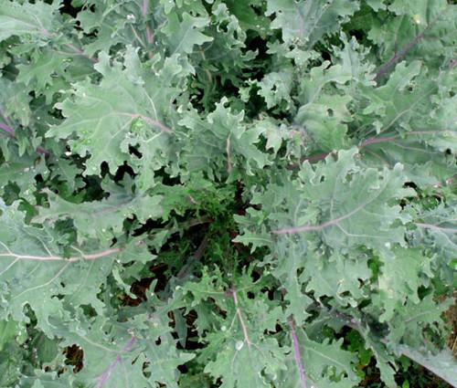Kale Red Russian Organic Seeds - Brassica Oleracea