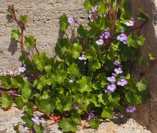 Kenilworth Ivy Non GMO Seeds - Cymbalaria Muralis