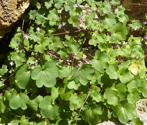 Kenilworth Ivy Non GMO Seeds - Cymbalaria Muralis  2