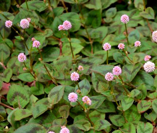 Knotweed Pink Punching Balls Non GMO Seeds - Polygonum Capitatum