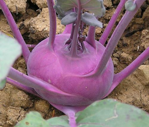 Kohlrabi Early Purple Vienna Non GMO Seeds - Brassica Oleracea