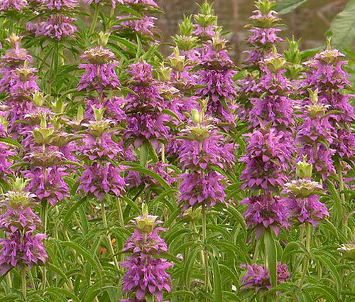 Lemon Mint Non GMO Seeds - Monarda Citriodora