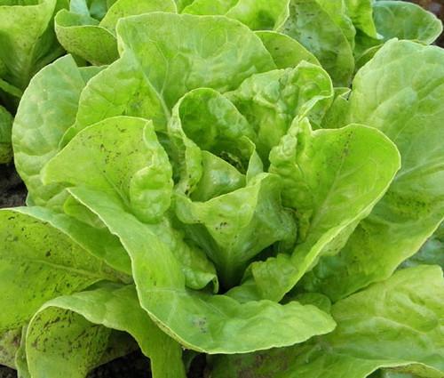 Lettuce Butterhead Bibb Slow Bolting Non GMO Seeds - Lactuca Sativa