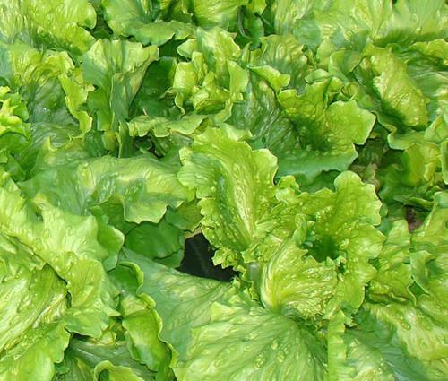 Lettuce Looseleaf Black Seeded Simpson Organic Seeds - Lactuca Sativa