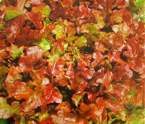 Lettuce Looseleaf Red Sails Non GMO Seeds - Lactuca Sativa