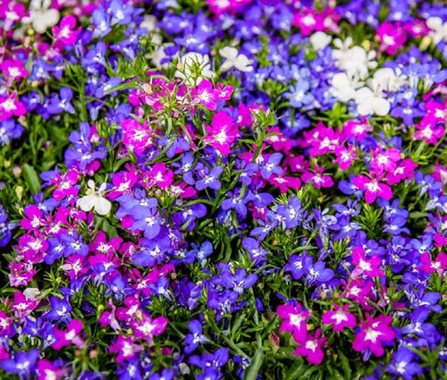 Lobelia Riviera Mix Seeds - Lobelia Erinus