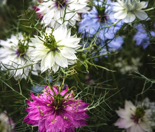 Love In a Mist Jewels Mix Seeds - Nigella Damascena
