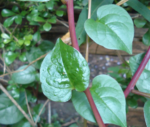 Malabar Spinach Red Stem Non GMO Seeds - Basella Rubra