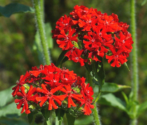 Maltese Cross Seeds - Lychnis Chalcedonica 3