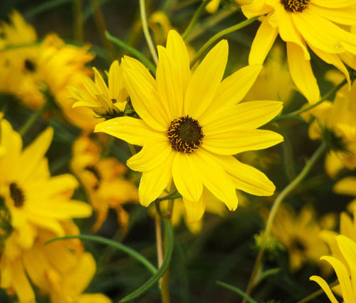Maximilian Sunflower Seeds - Helianthus Maximiliani