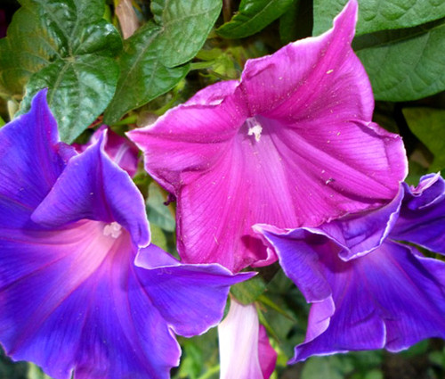Morning Glory Japanese Kikyo-Zaki Seeds - Ipomoea Nil