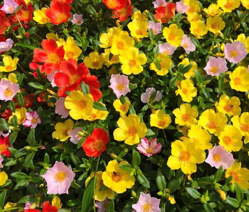 Moss Rose Mix Seeds - Portulaca Grandiflora