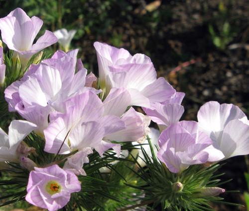 Mountain Phlox Seeds - Linanthus Grandiflorus