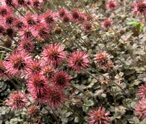 New Zealand Burr Bronze Seeds - Acaena Microphylla