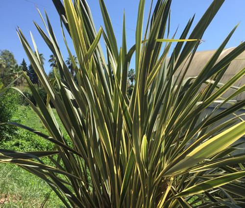New Zealand Flax Seeds - Phormium Tenax New Hybrids