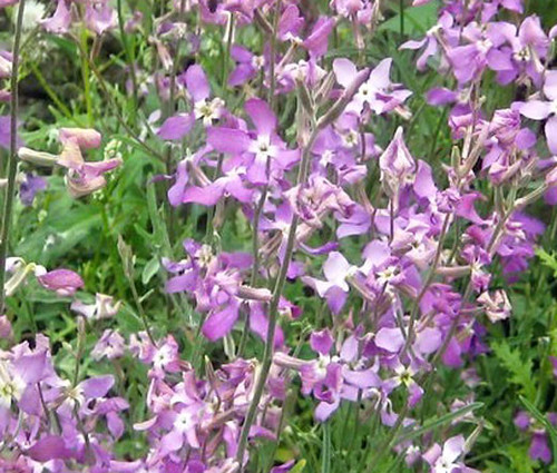 Night Scented Stock Seeds - Matthiola Bicornis