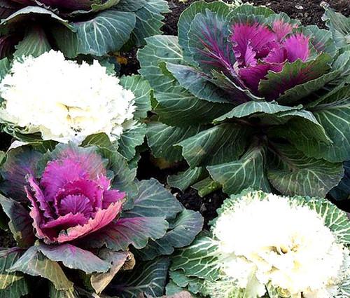 Ornamental Kale Non GMO Seeds - Brassica Oleracea