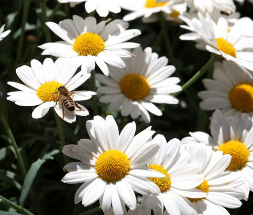 Daisy Ox-Eye Oxeye Seeds - Leucanthemum Vulgare