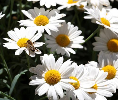 Daisy Ox-Eye Oxeye Seeds - Leucanthemum Vulgare