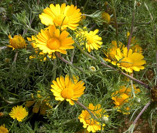 Palm Springs Daisy Seeds - Cladanthus Arabicus