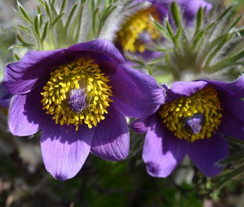 Pasque Flower Violet Seeds - Pulsatilla Vulgaris