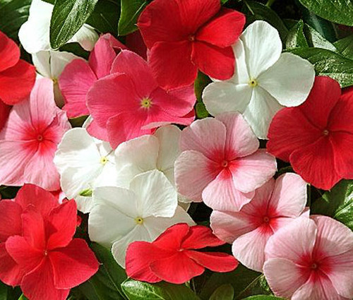 Periwinkle Dwarf Little Mix Seeds - Catharanthus Roseus