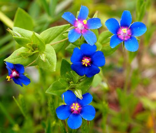 Pimpernel Blue Seeds - Anagallis Monelli