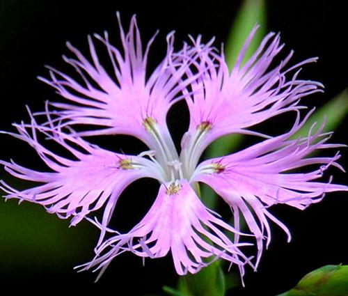 Pinks Fringed Seeds - Dianthus Superbus