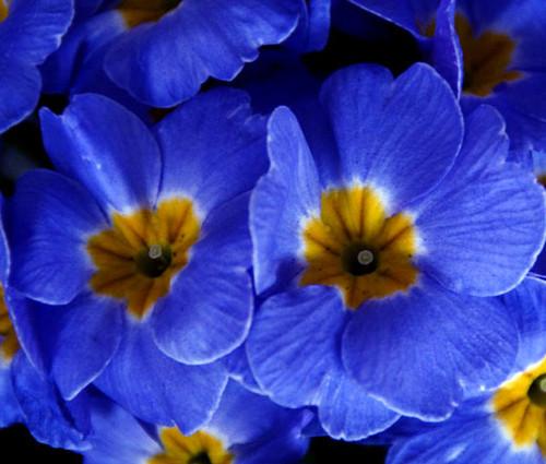 Primrose English Accord Blue Seeds - Primula Vulgaris