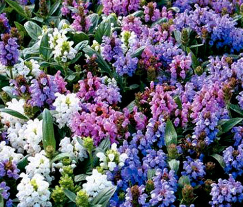 Prunella Self Heal Pagoda Mix Non GMO Seeds - Prunella Grandiflora