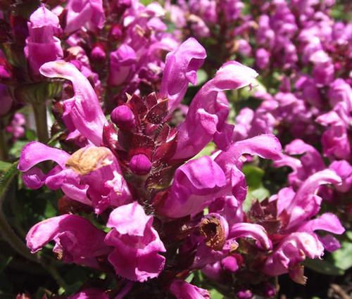 Prunella Self Heal Red Purple Non GMO Seeds - Prunella Grandiflora Rubra