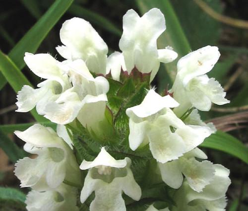 Prunella Self Heal White Non GMO Seeds - Prunella Grandiflora Alba