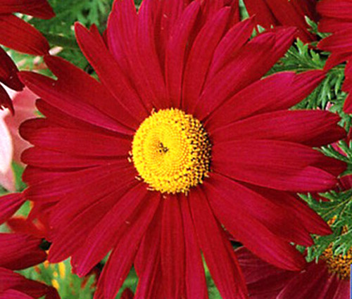 Pyrethrum Robinson's Red Seeds - Chrysanthemum Coccineum