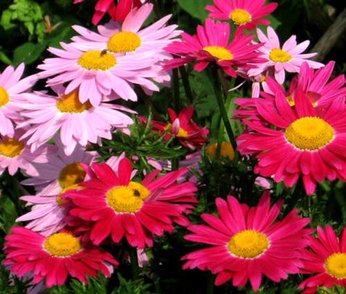 Pyrethrum Robinson's Mix Seeds - Chrysanthemum Coccineum