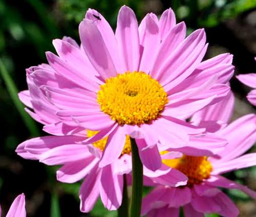 Pyrethrum Robinson's Rose Seeds - Chrysanthemum Coccineum
