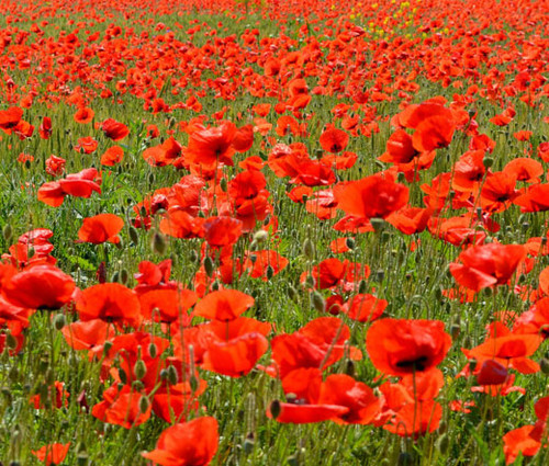 Red Corn Poppy American Legion Seeds - Papaver Rhoeas