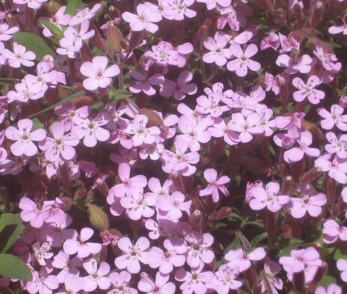 Rock Soapwort Pink Seeds - Saponaria Ocymoides