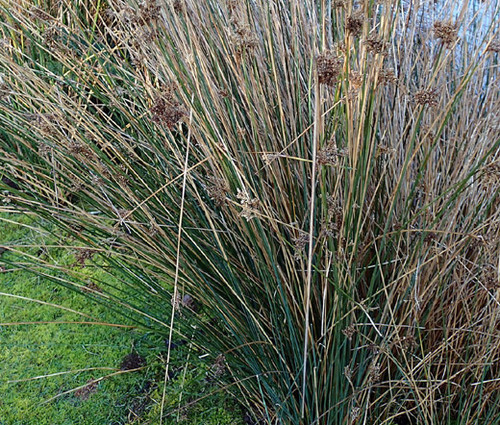 Rush Javelin Seeds - Juncus Pallidus 2